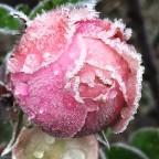 Eisige Rose