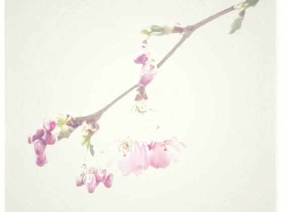Kirschblüte 2020